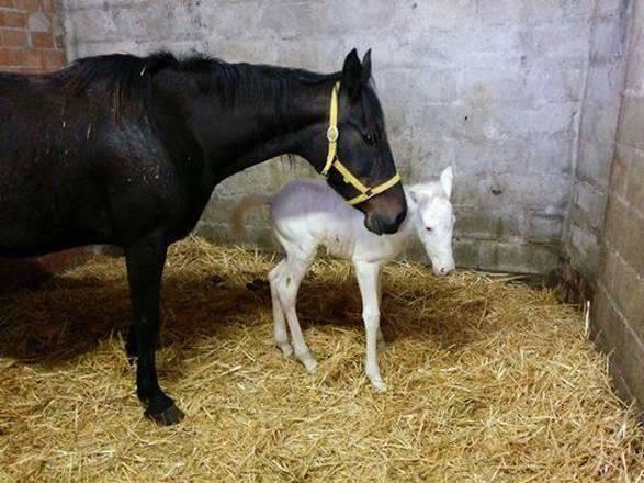 Assisi nasce cavallina albina un caso su un milione for Cavalli bolzano