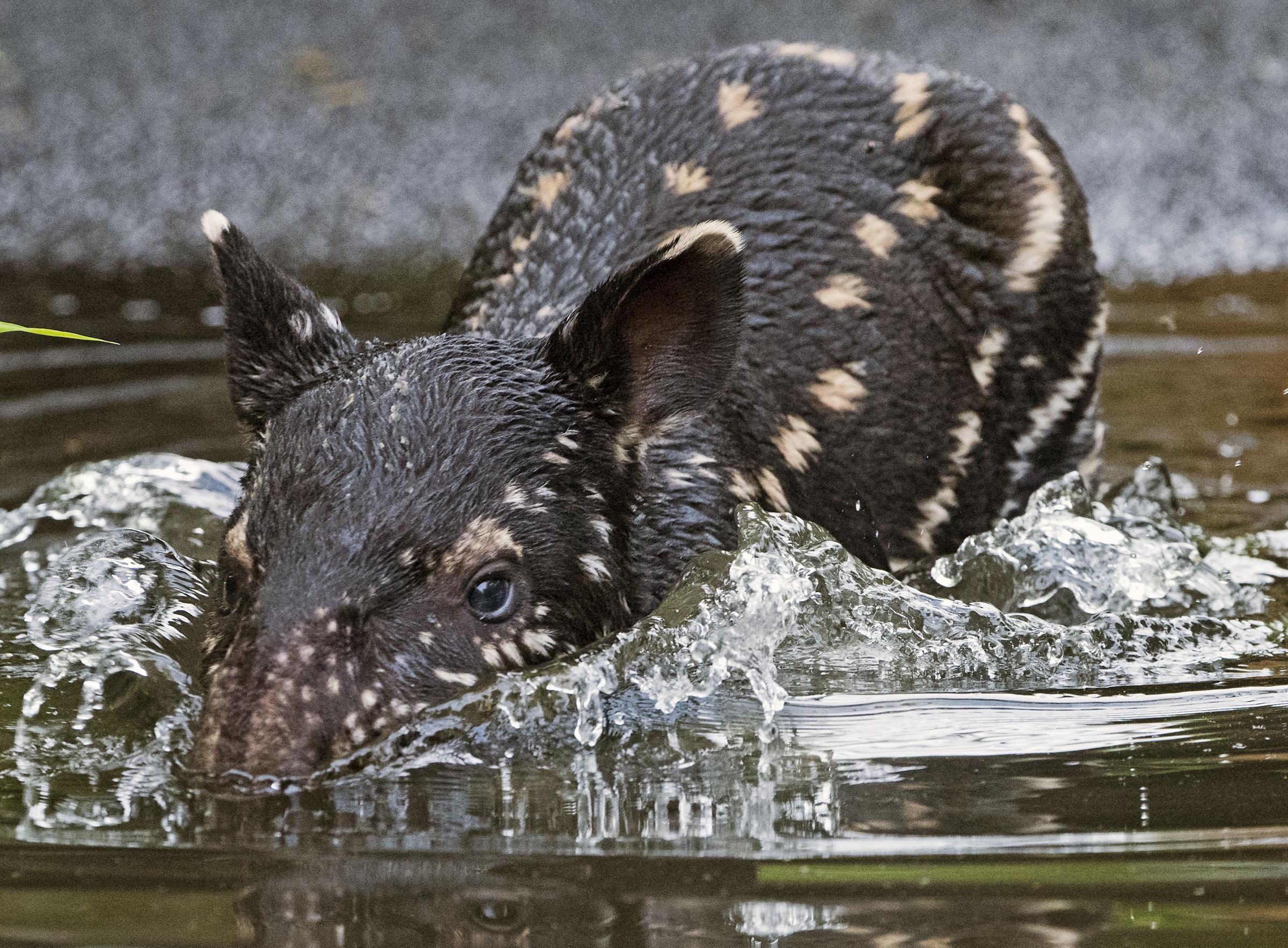 Il bagnetto del baby tapiro photogallery rai news - Colorazione pagine animali zoo ...