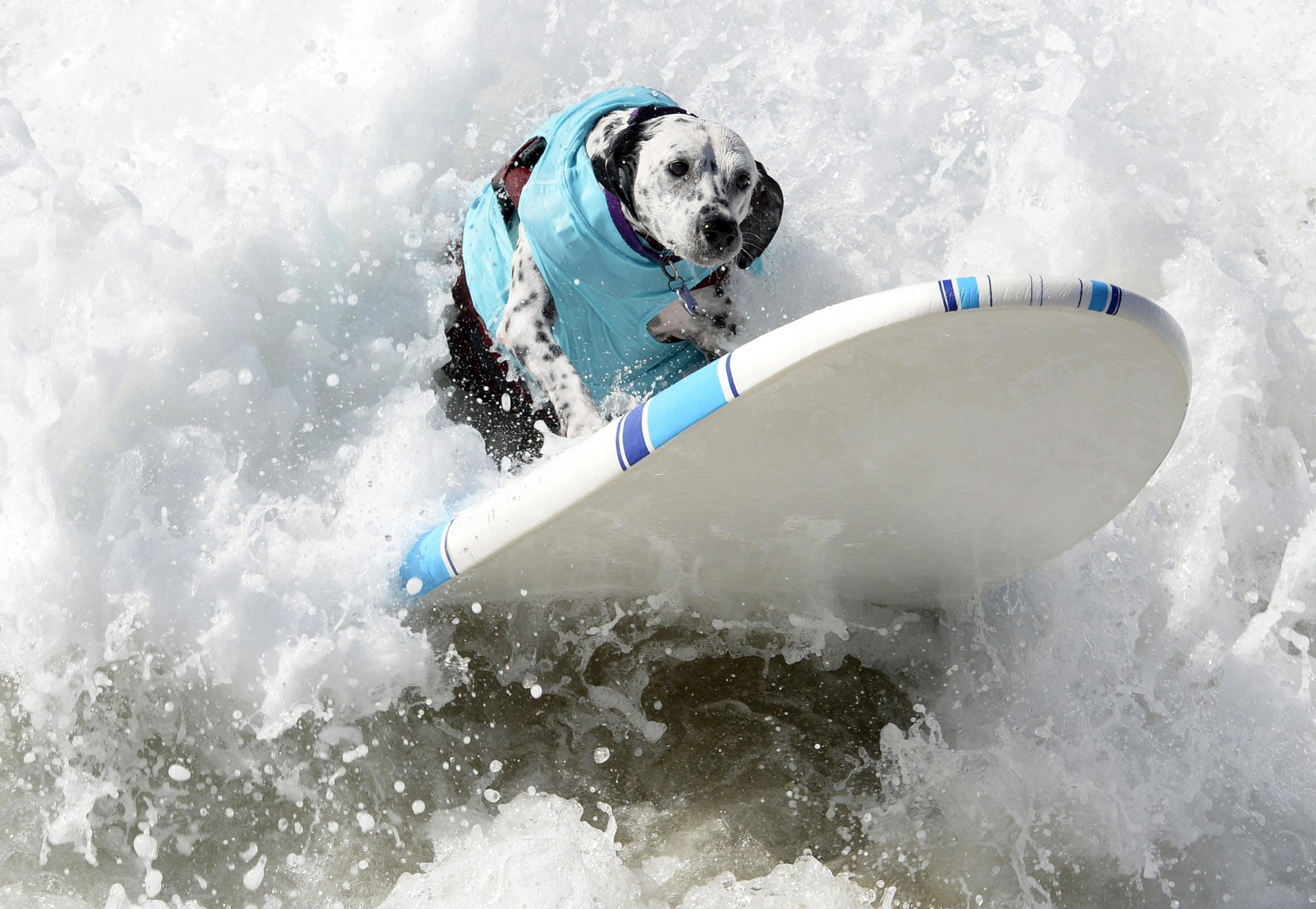 Quando il surfista un cane photogallery rai news - Tavola surf usata subito it ...