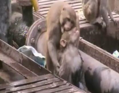 L'incredibile video della scimmia che salva la vita a una compagna folgorata dall'alta tensione